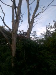 Dutch Elm Disease killing many trees in the UK