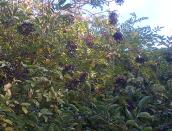 Loaded Fruits of Elderberries..