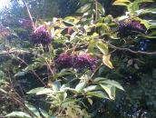 Why not make Elderberry Jam click photo for more