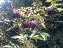Nature Heals Elderberries