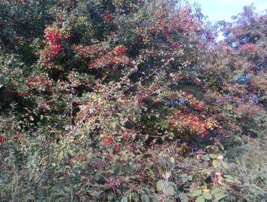 Nature Heals Hawthorne-berries