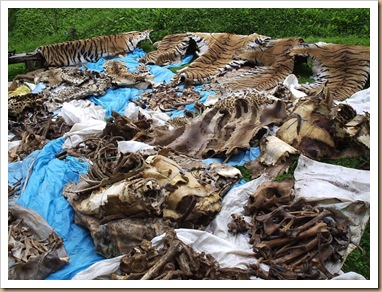 nepal Tigers-confiscasted-skin-bones