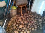 potatoes in shed drying