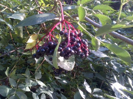 Nature Heals Ripe-elderberries