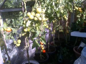 Green house Tomatoes