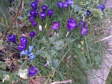 Wild-patch-Crocus.jpg