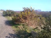The Gorse Bushes in flower, I even saw a Butterfly today