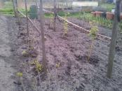 Raspberry Canes sprouting, plus red currents and Logan berries, and black currents... Black berries