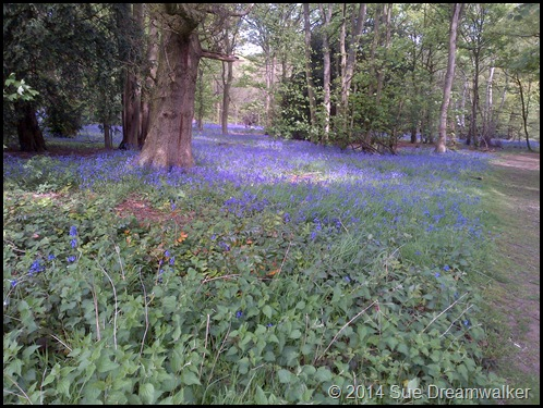 Bluebell edge of the wood