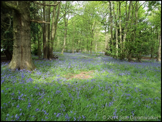 Bluebell Wood 2