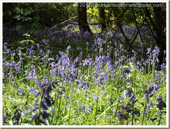 Bluebell Wood 5