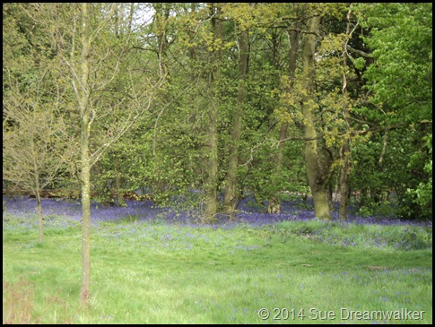 Bluebell wood 6