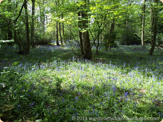 Bluebell Wood ~ Rufford