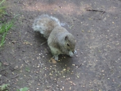 The same Squirrel eating corn I threw down
