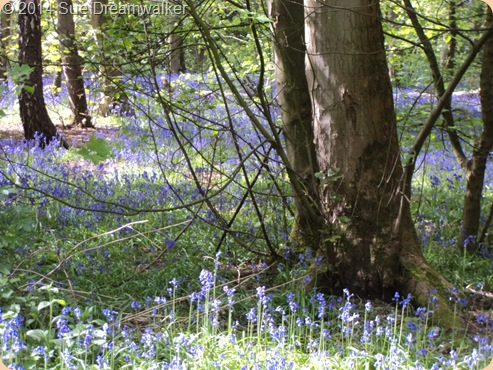 The Standing One in the Bluebell wood