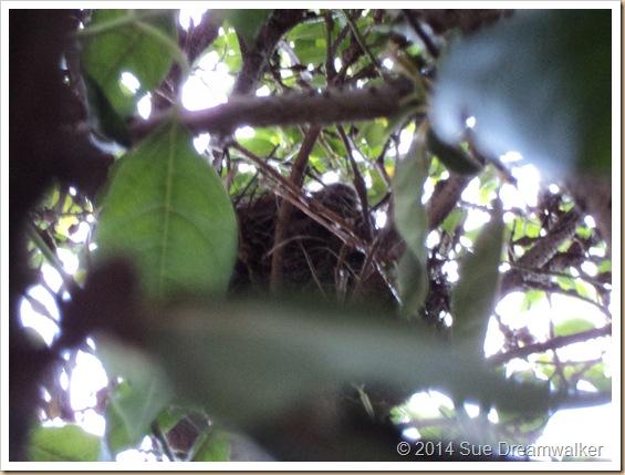 close up, of Blackbird chick