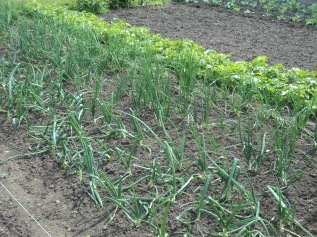 Onions-Shallots and Parsnip