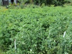 6  rows of main crop of potatoes and 2 rows of earlies... we are already half way down our earlies, they are delicious ..
