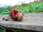 These hungry little snails and slugs are having a feast with our Strawberries, its a case of who gets their first eats. :-)