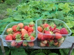 Picking the strawberries... getting to them before the slugs and snails do is a race... so I am picking when they are just under ripe and ripening in the kitchen window..