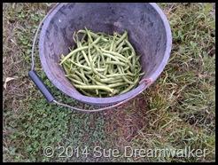 Drawf Beans