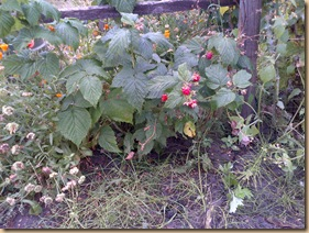Raspberries now coming and doing well