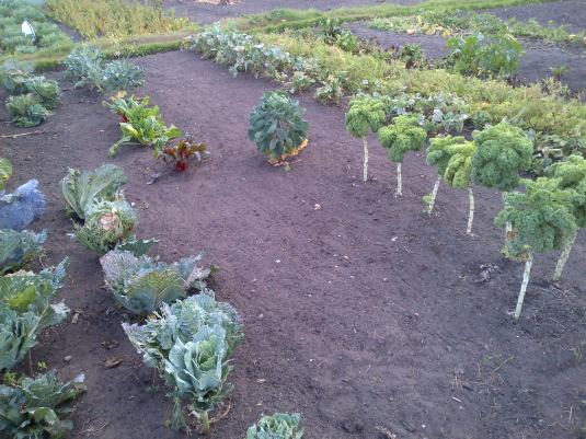 Brassica's Curly Kale, Swiss Chard.. Enjoy your Greens.. They are good for you