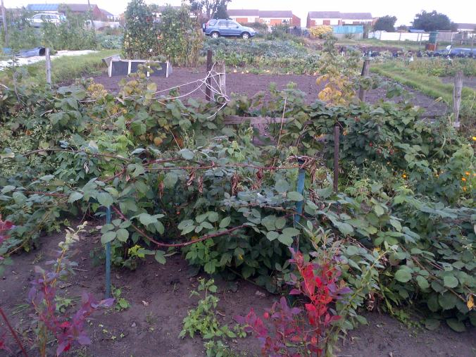 Fruit Bushes, Black and Red currant and Raspberries,  this is the view from the sheds looking back up the garden.