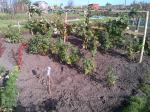 Fruit Bushes tied up and moved to create more space forpicking.