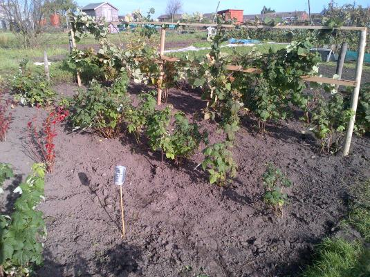 Fruit Bushes tied up and moved to create more space for picking.