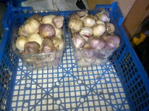 Here is just some of the Garlic we harvested .