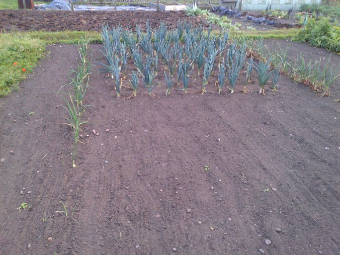 Leeks and Red onions.  Freshly weeded and raked. by Muwwwww.