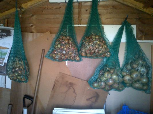 Onions and Shallots hung in the shed