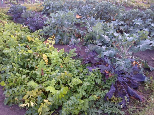 Parsnips and Purple sprouting Broccoli. These will be our over winter greens and veggies...