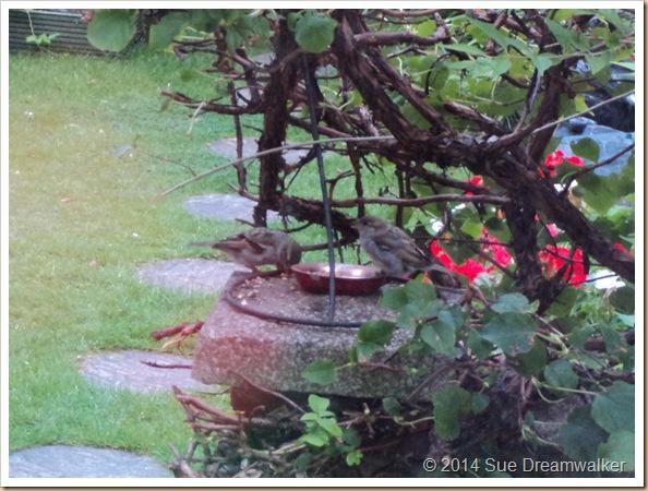 Sparrows feeding in the garden