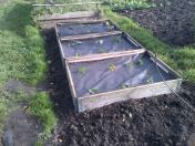 Transplanted New shoots from Strawberry Plants
