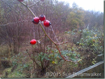 Rose Hips.. Natures own Vitimins
