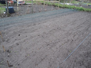 Onions and Shallots planted