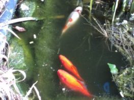 Gold fish in our pond we have 4 Here are 3