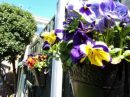 Pansies on the fence