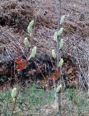 Peacock Butterflies
