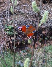 Walking and taking in the beauty of these Peacock Butterflies