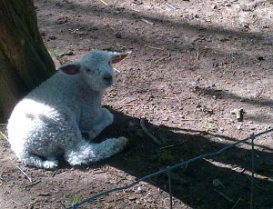 Lamb looking at me