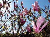 Magnificent Magnolia