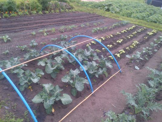 Brassica Family and Dwarf beans. Curly Kale.
