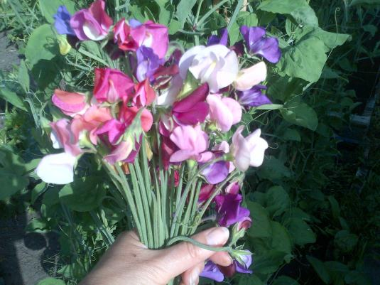 Sweet-peas from my garden.. In tribute to the 38 tourists Killed in Tunisia 30 of which were British