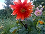 Orange White tip Dahlia