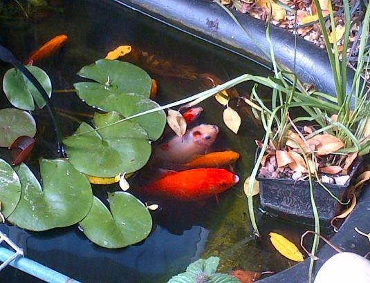 Subakin and Goldfish