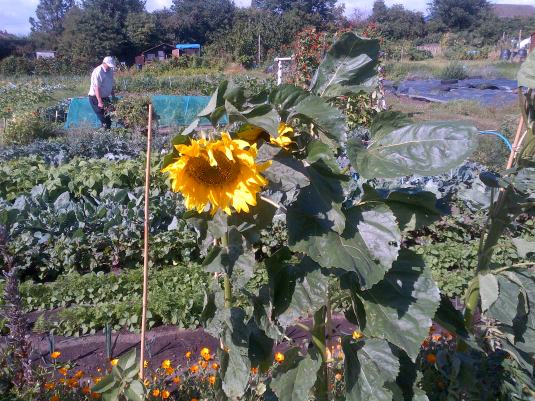 Sunflowers and Marigolds and Hubby weeding