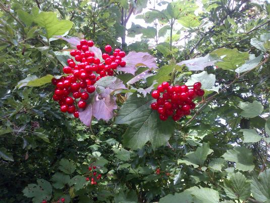 Beautiful Berries along an autumn walk